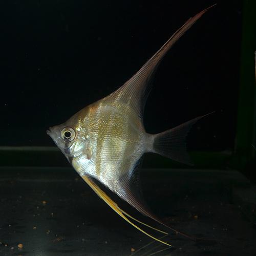 アルタムエンゼル  SM〜Mサイズ 1匹(熱帯魚)