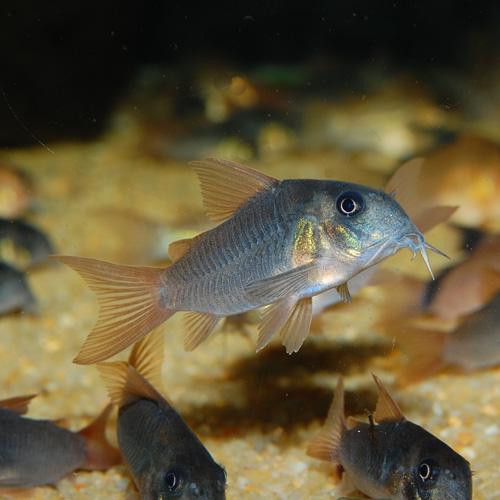 Co.コンコロール(ワイルド個体)3匹(熱帯魚)