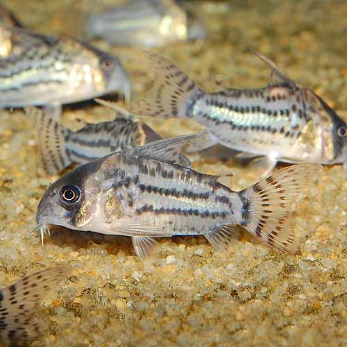 Co.シュワルツィ(ワイルド個体)3匹(熱帯魚)