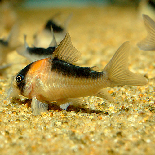 Co.デュプリカレウス3匹(ワイルド個体) (熱帯魚)