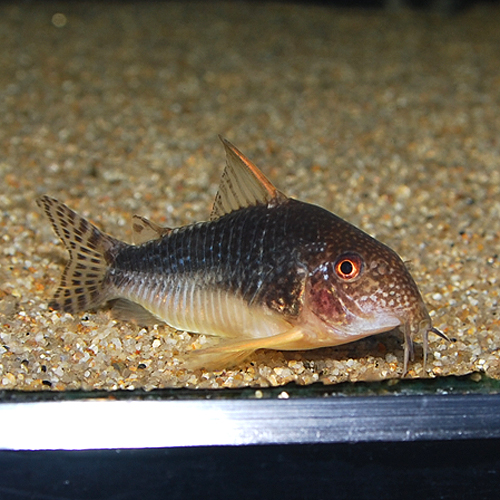 Co.ゴッセイ(ワイルド個体)(熱帯魚)