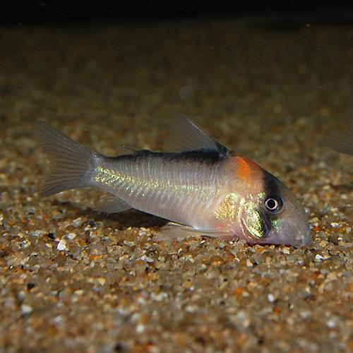 Co.アドルフォイ(ワイルド)(熱帯魚)