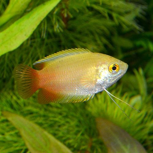 ゴールデンハニーグラミー 3匹 (熱帯魚)