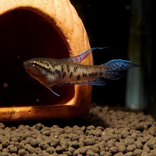 マルプルッタ 1Pr (熱帯魚)
