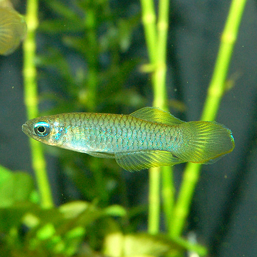 アフリカンランプアイ  SMサイズ 合計1匹 (熱帯魚)