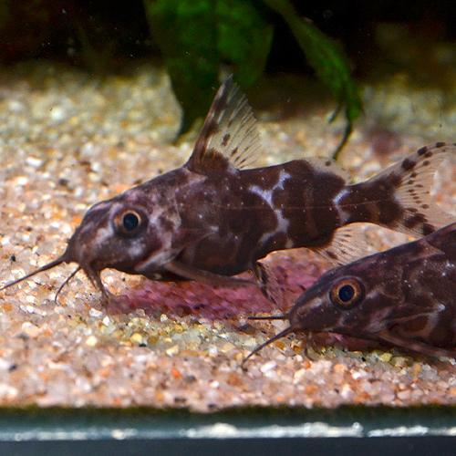 サカサナマズ 1匹 (熱帯魚)