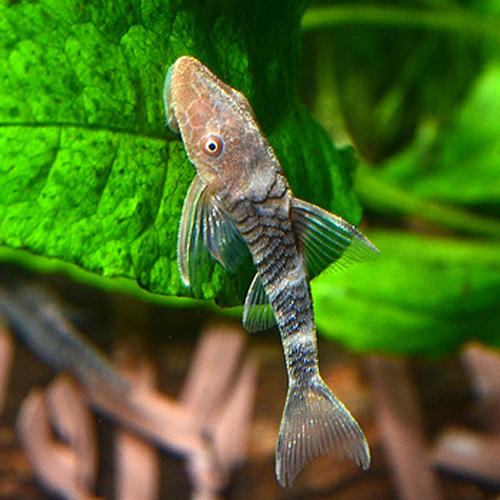 ボルケーノ・オトシン 3匹(熱帯魚)