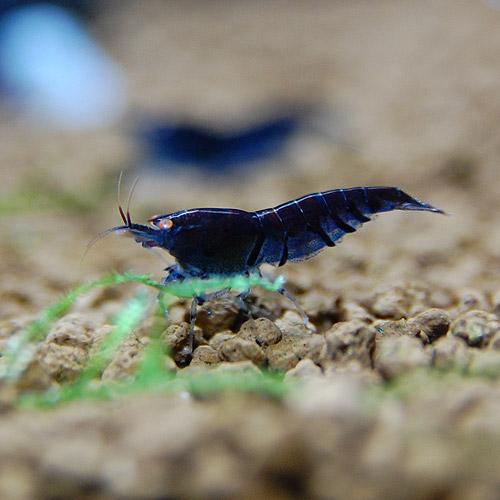 ゴ-ルデンアイシュリンプ・ダークブルー 1匹(熱帯魚)