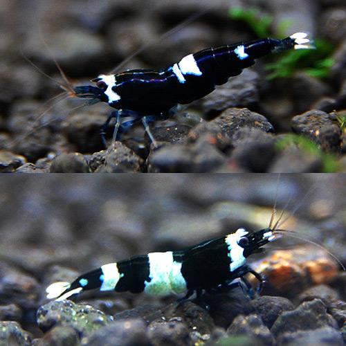 ブラックシャドーシュリンプ MIX 2匹(熱帯魚)
