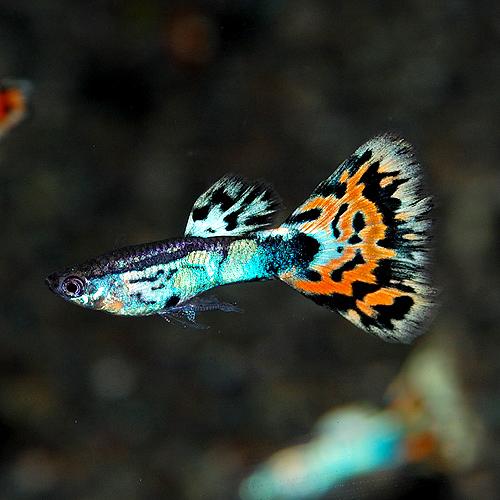<所沢グッピー> オールドファッションモザイク 1pr(熱帯魚)