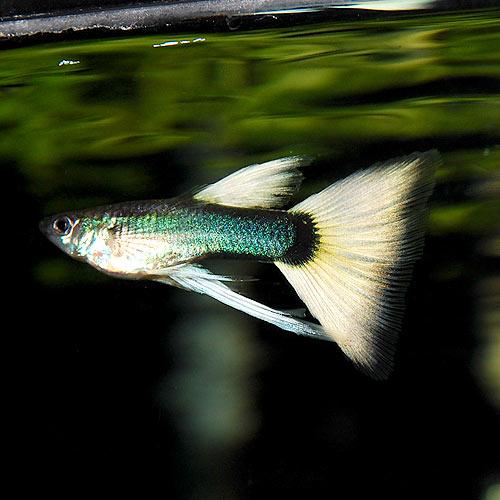<所沢グッピー> ドイツイエロータキシードリボン 1tr(熱帯魚)