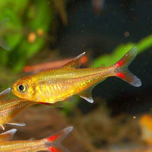 ハセマニア SPオレンジ(ウォルターテトラ)(5匹)(熱帯魚)