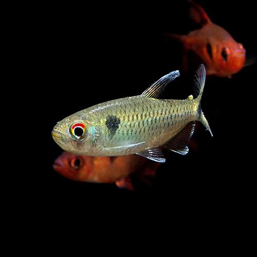 ブルースポットモンクホーシャ アラグアイア 1匹 (熱帯魚)