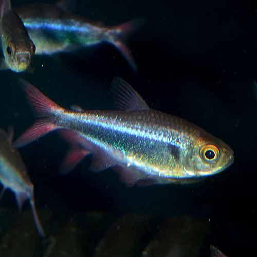 ファラガテトラ wild 1匹 (熱帯魚)