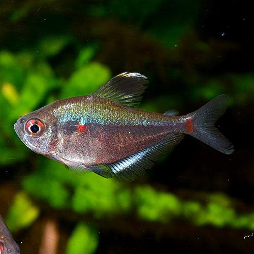 ソコロフィーテトラ 1匹(熱帯魚)