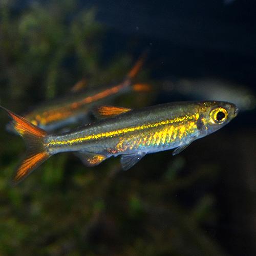 ジェリービーンテトラ Sサイズ (ワイルド) 5匹 (熱帯魚)