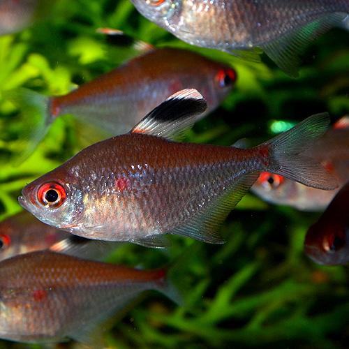 ダイヤモンドペレズテトラ(ワイルド) 5匹 (熱帯魚)