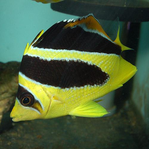 インディアンバタフライフィッシュ SM〜Mサイズ (海水魚)