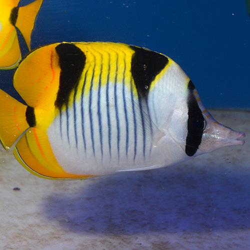 インドスダレチョウチョウウオ ML〜Lサイズ (海水魚)