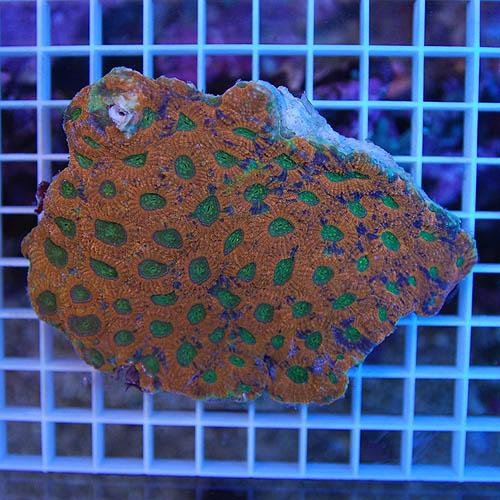 キクメイシ オレンジツートン 2717m (海水魚)