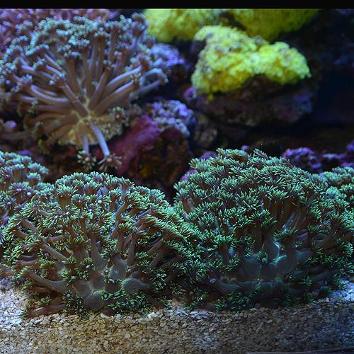 コモチハナガササンゴ ロンググリーン(海水魚)
