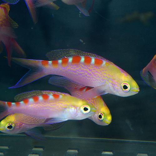 アサヒハナゴイ 4匹(海水魚)