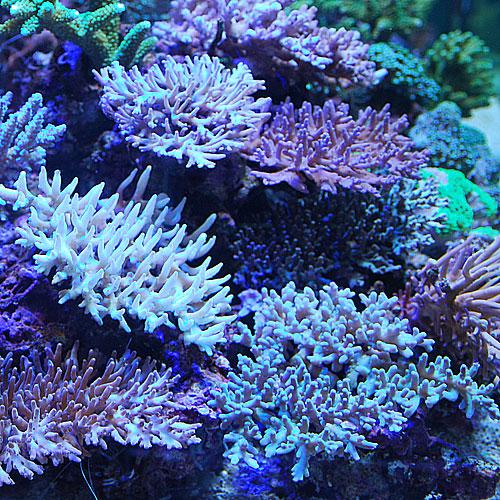おまかせ深場系ミドリイシ2点セット<サンゴ担当セレクト>(海水魚)