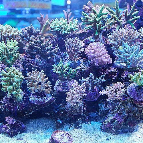 おまかせブリードミドリイシ2点セット<サンゴ担当セレクト>(海水魚)
