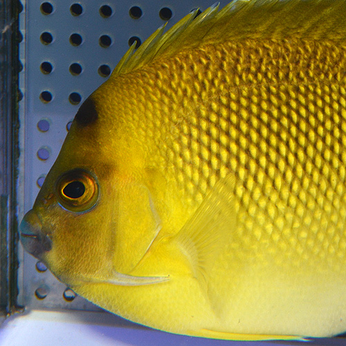 アルミテージエンゼル M〜MLサイズ (海水魚)