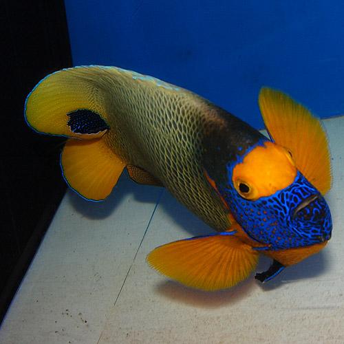 アデヤッコ XL〜XXLサイズ 2506s (海水魚)