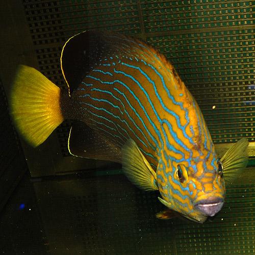 アカネキンチャクダイ(マゼエンゼル)L〜XLサイズ 2510o2 (海水魚)