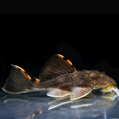 タイガーフィンサタンプレコ(熱帯魚)