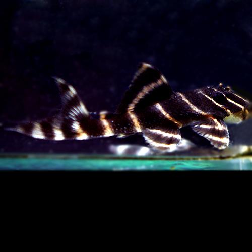 エンペラーペコルティア(熱帯魚)
