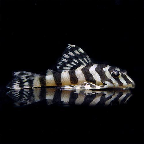 クイーンインペリアルタイガー(SM) (熱帯魚)