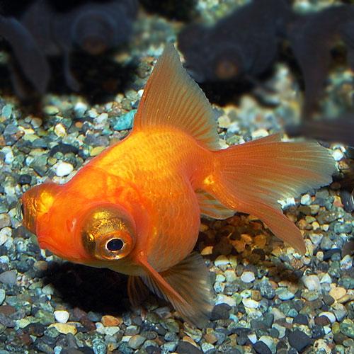 赤出目金 1匹(金魚・めだか)