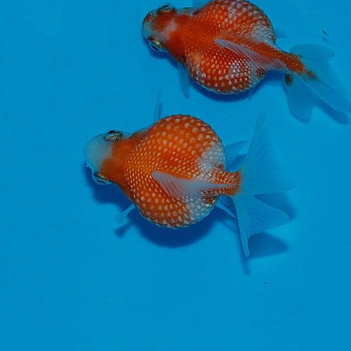 ピンポンパール 1匹(金魚・めだか)