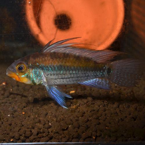 Ap ユルエンシス(アルパファヨ) ペア イタヤ産(ワイルド) (熱帯魚)