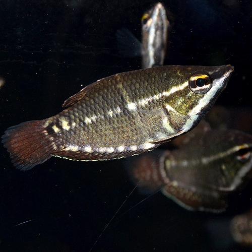 スファエリクティス バイランティ SM〜Mサイズ ♂ (熱帯魚)