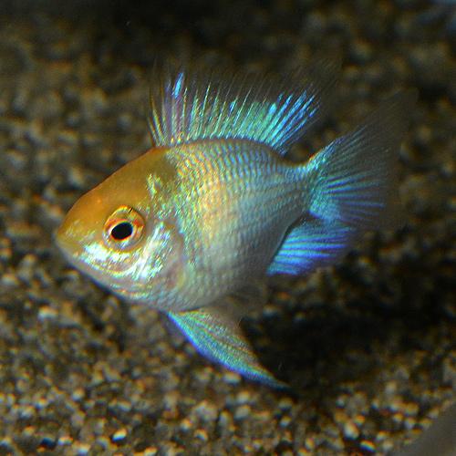 ゴールデンコバルトバルーンラム Sサイズ 2匹 (熱帯魚)