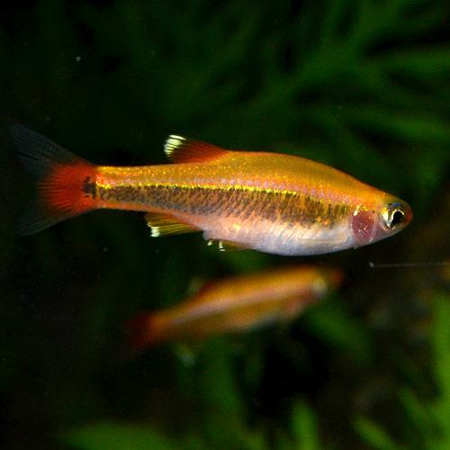 ゴールデンアカヒレ 5匹 (熱帯魚)