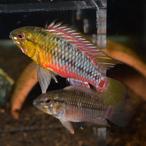 Ap ホングスロイ スーパーレッド (欧州ブリード) ペア 2022j (熱帯魚)