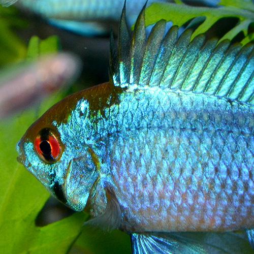 コバルトラム SSサイズ 5匹 (熱帯魚)