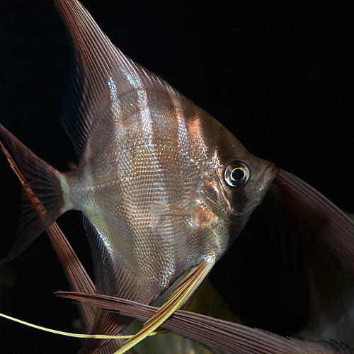 アルタムエンゼル ML〜Lサイズ 1匹 (熱帯魚)