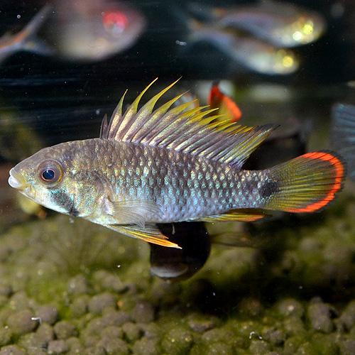 Ap インカ50(バエンスヒ) ペルー産ワイルド個体 1pr (熱帯魚)