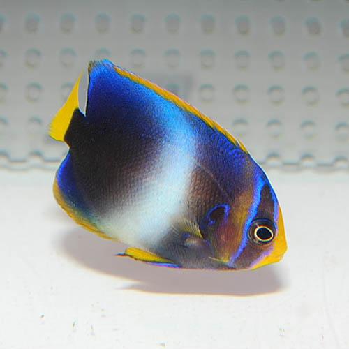 ウエストアフリカンエンゼル  S〜SMサイズ 2720o (海水魚)