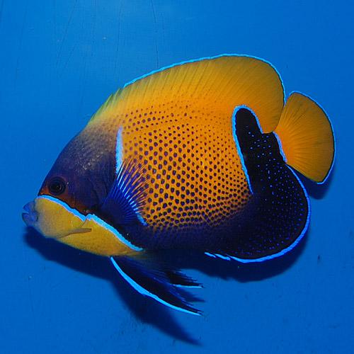 イナズマヤッコ  ML〜Lサイズ(海水魚)
