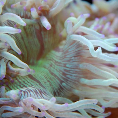 トランペットコーラル 先パープル 05d  (海水魚)
