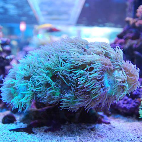 トランペットコーラル 先パープル Lサイズ (海水魚)