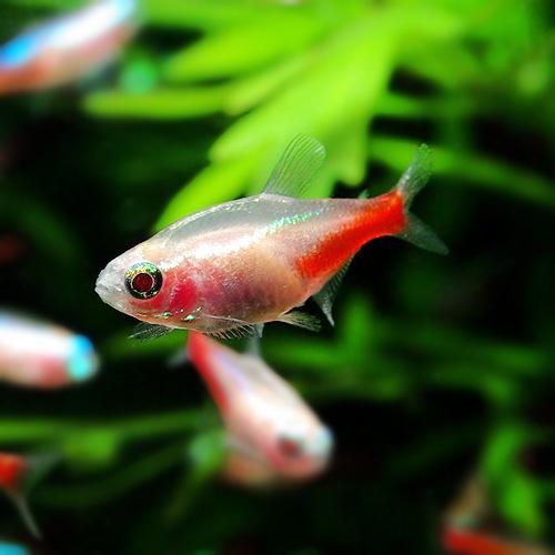 アルビノ・ネオンテトラ 1匹 (熱帯魚)