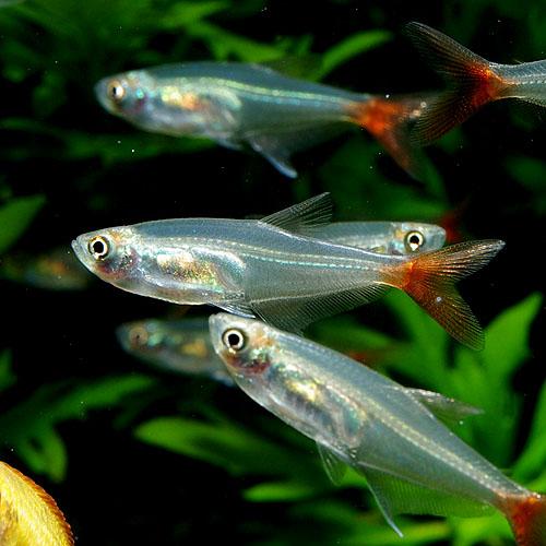 グラスブラッドフィン 【8匹+2匹プレゼント】 合計10匹 (熱帯魚)